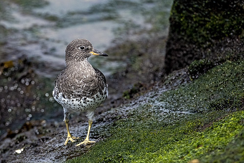 ca.playa.surfbird.4071