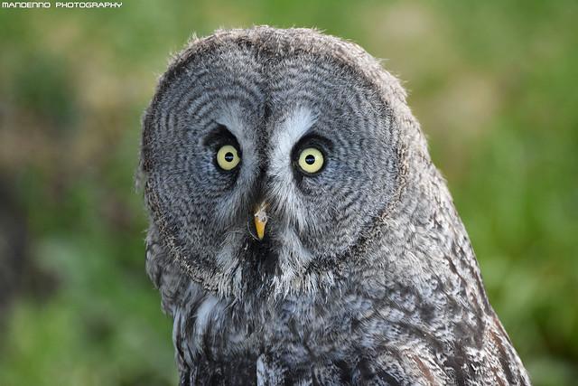 Great grey owl - Falconry fair