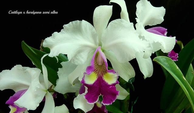 Cattleya x hardyana semi alba