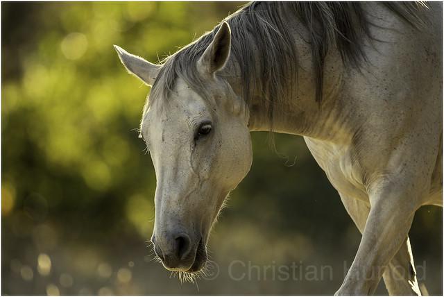 Senner Pferd