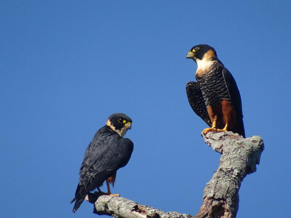 Falco rufigularis - Faucon des chauves-souris (photo d'Audrey Sauge)