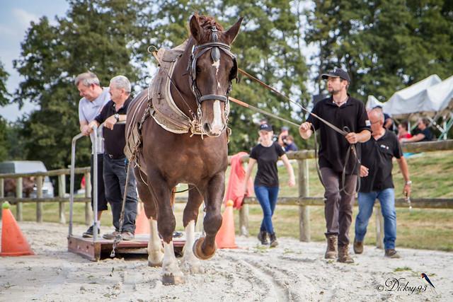 Concours national du cheval de trait breton à Lamballe