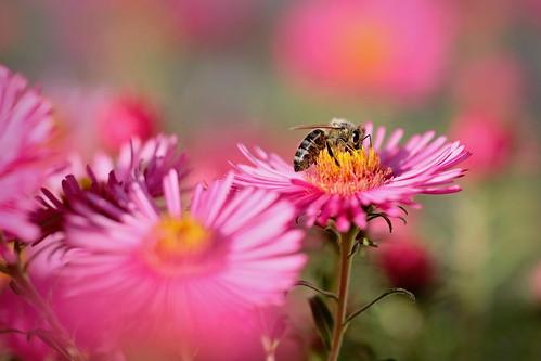 Biene und Bokeh