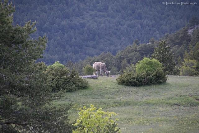 Laiduntava lehmä vuoristossa matkalla San Sebastiánista Andorraan