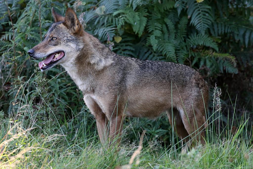 Iberian Wolf Knowsley Safari Park 210919a