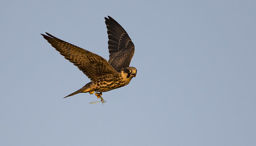 hobby dragonfly falcon hunting close red shifted sunset eye looking incoming impressive raptor wild lakenheath lakenheathfen