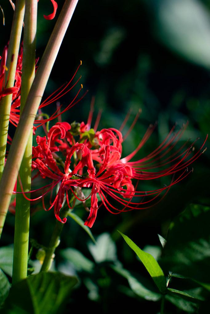 彼岸花 Spider Lily