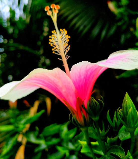 Pink Hibiscus 3