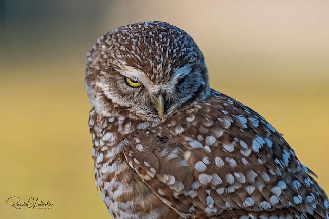 Burrowing Owl - Athene cunicularia   2019 - 27