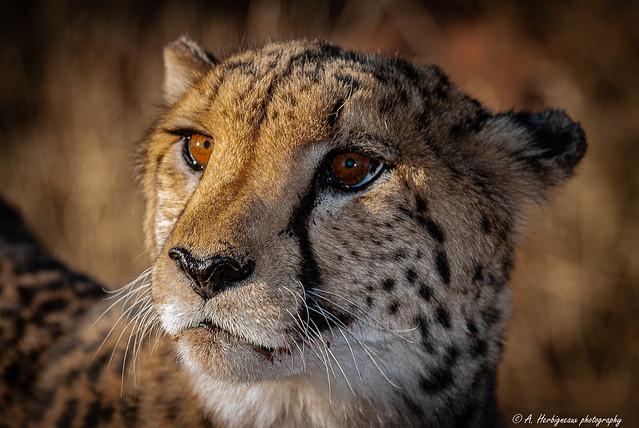 Cheetah, Guépard