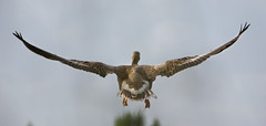 Oie cendrée - Auca comuna - Greylag goose -Anser anser