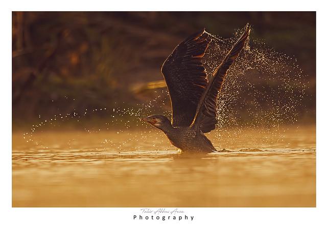 Great Cormorant at Sunrise