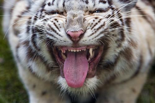 Grimacing white tigress