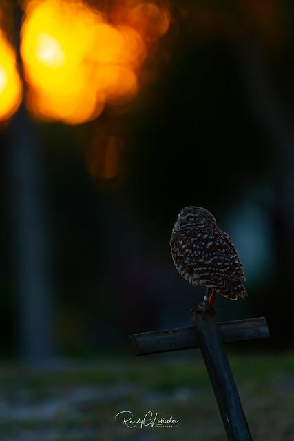 Burrowing Owl - Athene cunicularia   2019 - 28