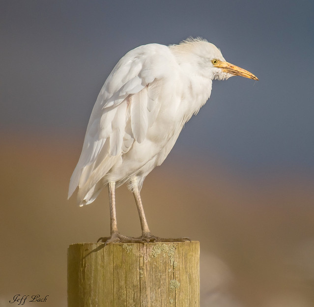 DSC6675a  Cattle Egret..