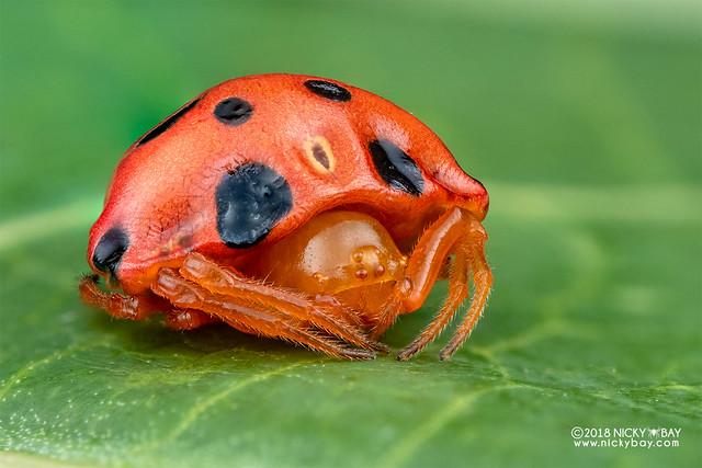Ladybird spider (Paraplectana sp.) - DSC_8780