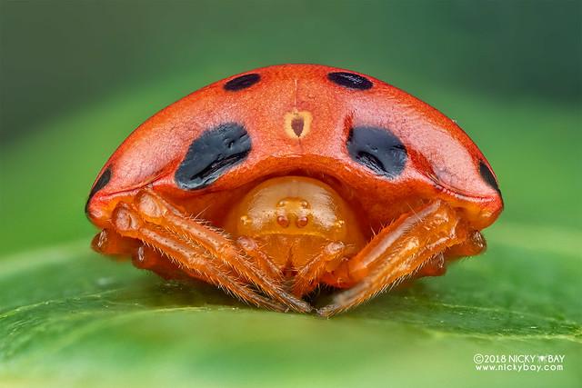 Ladybird spider (Paraplectana sp.) - DSC_8765