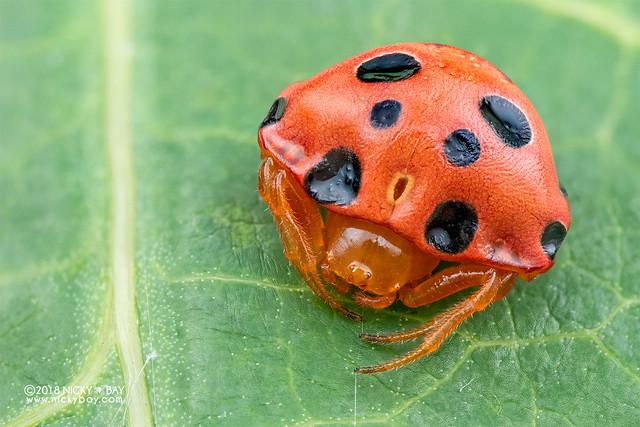 Ladybird spider (Paraplectana sp.) - DSC_8757