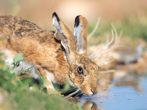 A thirsty hare