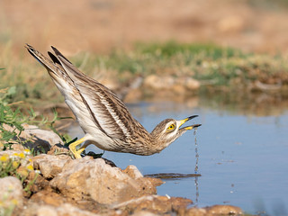 Stone curlew, drinking