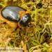 Rain Beetle (Pleocoma dubitabilis dubitabilis) 20171024_3760.jpg