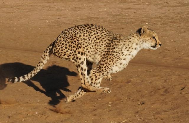 Cheetah, Reservation Fund