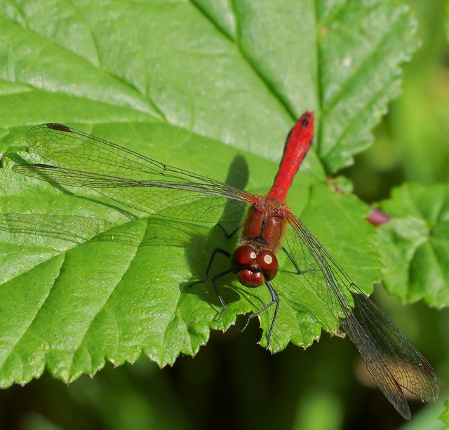 Ruddy Darter Dragonfly (Sympetrum sanguineum) Male