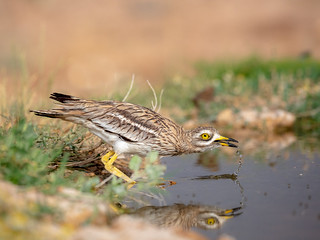 Stone curlew reflection