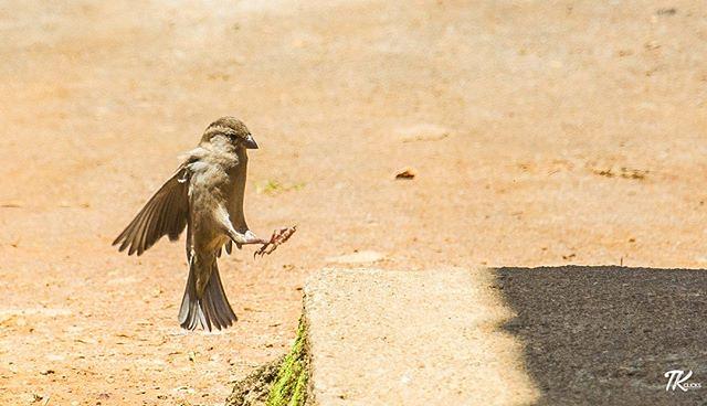 Caught this random shot of this little guy landing at Nuwara Eliya. #TKclicks #wanderlust #bird #birds #birdextreme #kings_birds #birdstagram #animalsaddict #instabird #instabirds #instagood #instadaily #nuwaraeliya #srilanka #lka #birdings #birdslovers #