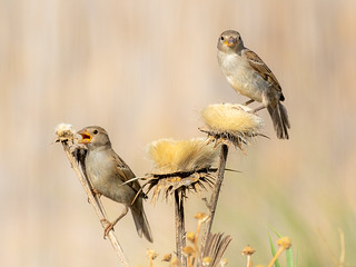 Sparrows and thistles