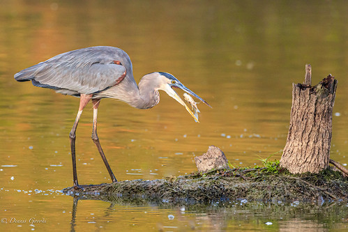 virginia action background bird fish greatblueheron huntleymeadows summer sunrise water wildlife alexandria unitedstatesofamerica