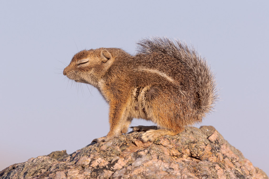 A Harris's antelope squirrel closes its eyes as it rests on a granite rock beside the Vaquero Trail in the Brown's Ranch area of McDowell Sonoran Preserve in Scottsdale, Arizona in June 2018