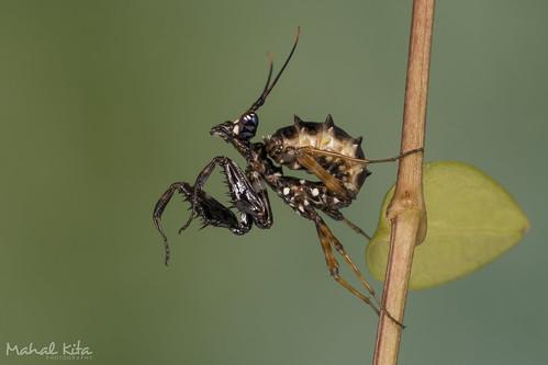 Spiny Flower Mantis...