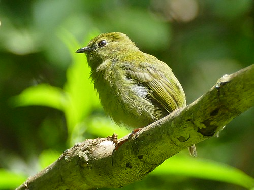 """Chiroxiphia caudata"" - Swallow-tailed Manakin: female, Blaubrustpipra 