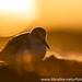 Sundowner- Sanderling