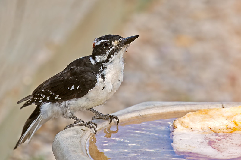 Hairy-Woodpecker-37-7D2-082619