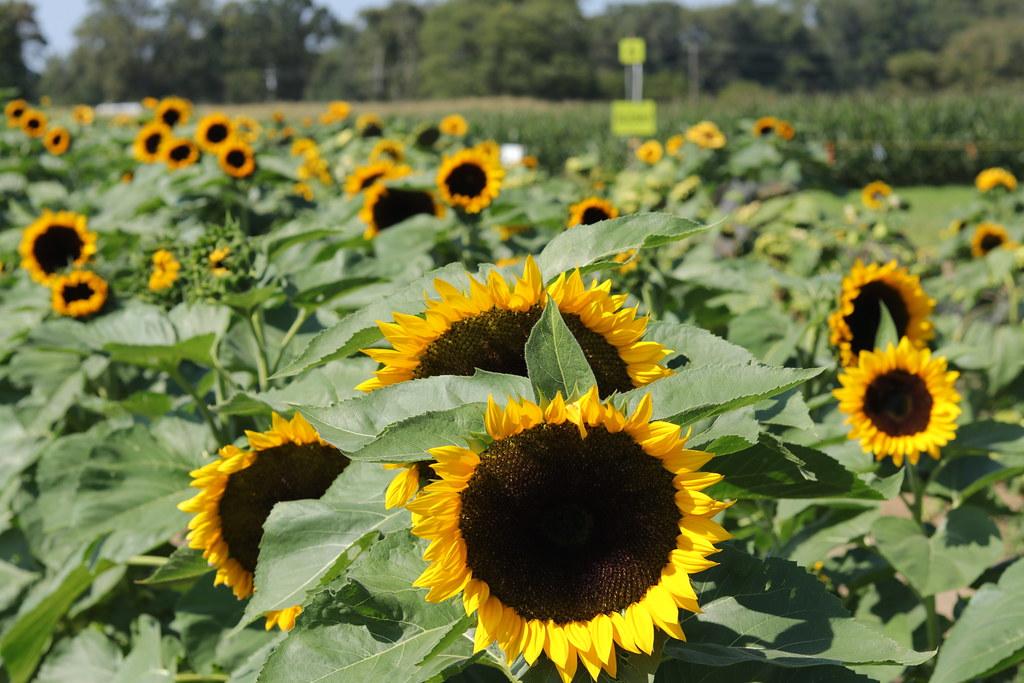 Sunflowers at Johnson's Locust Hall Farm  #flowers #sunflowers #farm. #autumn #country