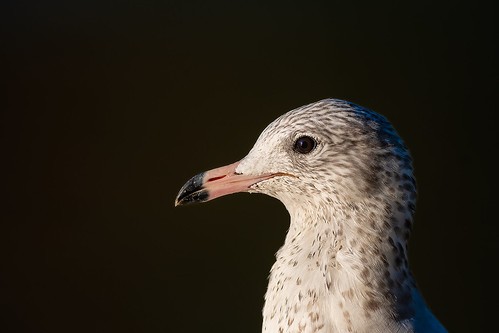 Juvenile California Gull Profile