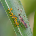 Leafhopper Assassin + Oleander Aphids