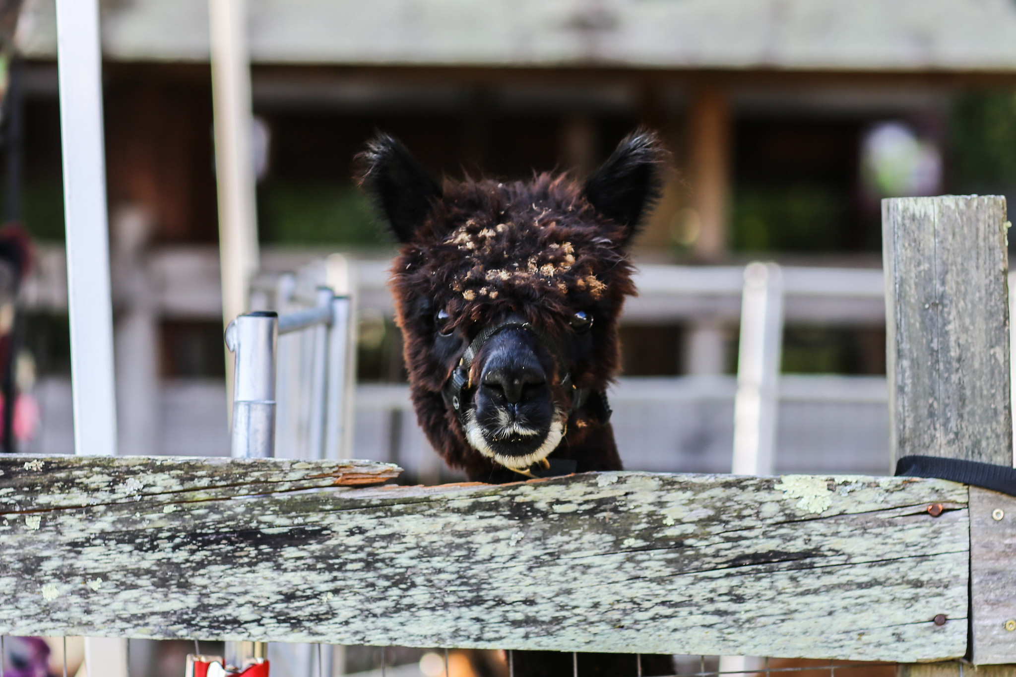 alpaca attention