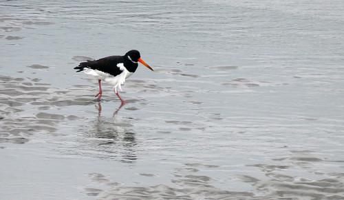 Un oiseau appelé Oyster Catcher se pavane sur la plage après Drombeg, Irlande