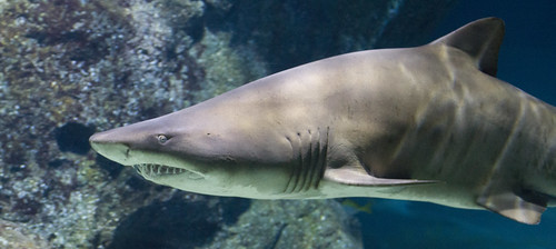 Shark | by San Diego Shooter