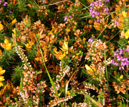 Prickles and heather in bloom on the Beara Peninsula, Ireland