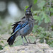 Steller's Jay in Wind
