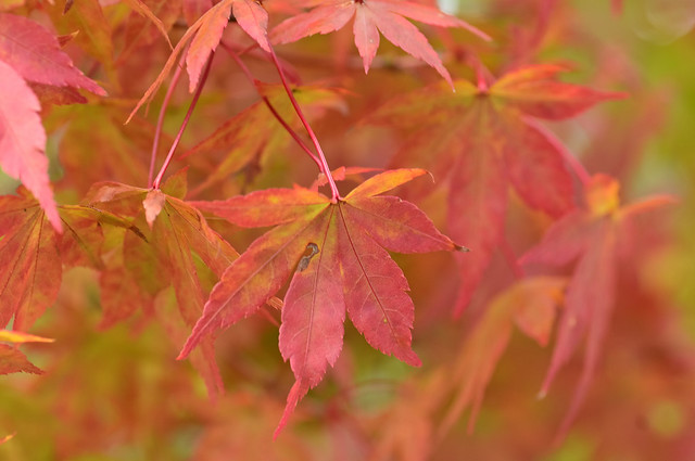 The autumn leaves, there, are extremely beautiful.