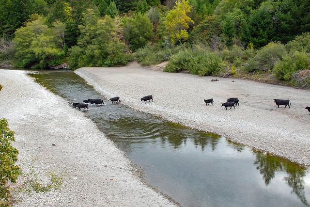 Cattle crossing Mattole River