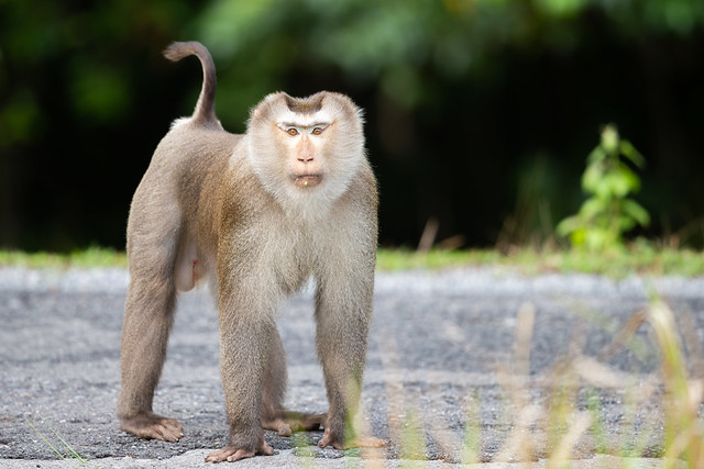 Northern Pig-tailed Macaque - Macaca leonina