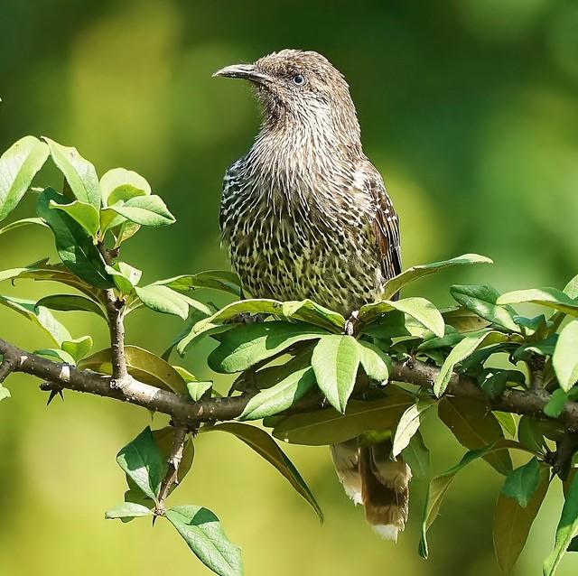 Little Wattle-bird in a sea of green