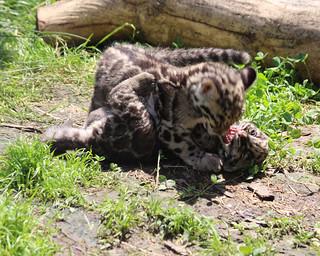 Clouded leopard cub 402