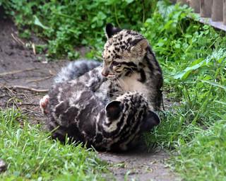 Clouded leopard cub 369